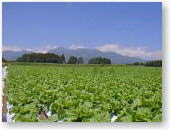 a field of mountain vegetable